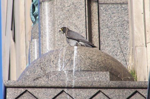 One of the peregrines at the Fisher Building