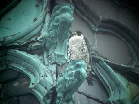 Ihteram, the female falcon at St. Joseph's Church