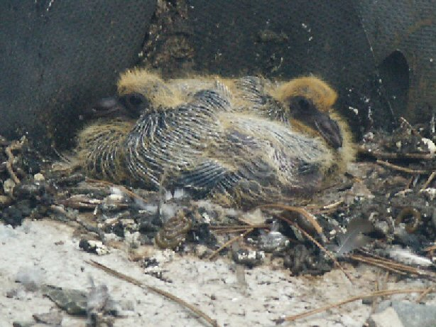 Pigeon Chicks
